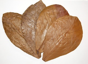 Four brown Almond leaves which can be used to lower pH levels in your aquarium