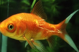 An Orange fish in aquarium with anchor worms attached to it's side