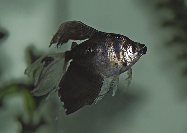 Best freshwater fish for beginners Black Skirt Tetra swimming against glass background