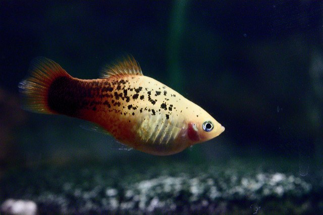 Best freshwater fish for beginners Platy swimming against a glass background and gravel bedding. Soft focus