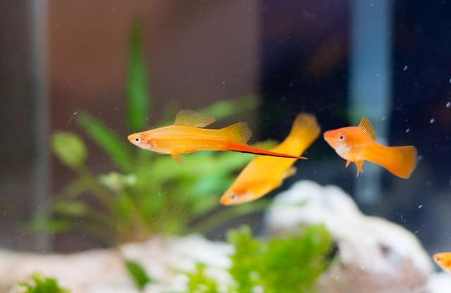 Best freshwater fish for beginners bright orange Swordtails swimming against aquarium background with green plants. Soft focus