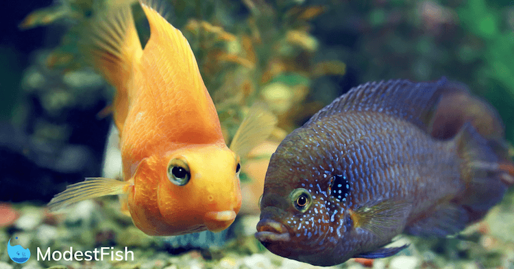 Two fish swimming look like they're about to kiss