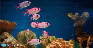 Bright pink fish swimming in reef tank