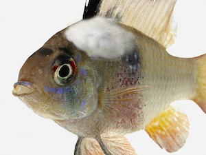 Aquarium Fish Disease Guide: Symptoms & Treatments