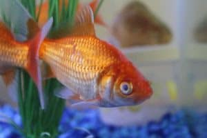Gold fish suffering from cloudy eye disease