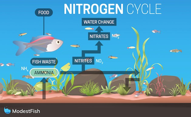 Graphic of a fish in a fish tank showing the 3 stages of the nitrogen cycle