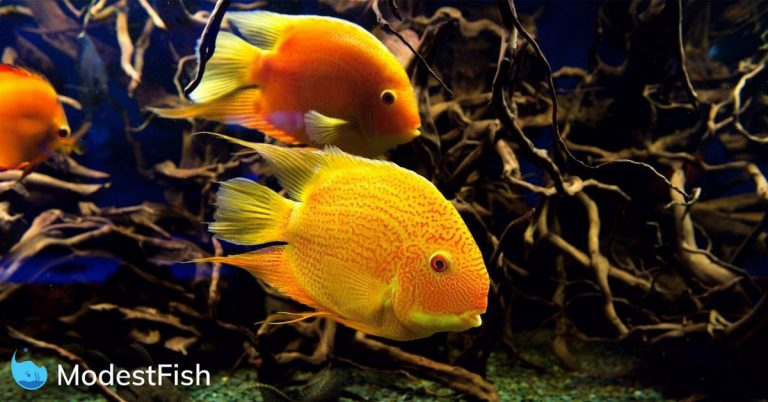 Two Gold Parrot Fish swimming in a cycled aquarium with driftwood in the background