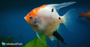 Close up of white and orange fish swimming in an aquarium with plant in the background