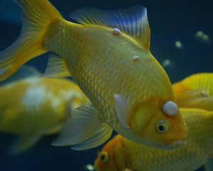 Yellow fish with growths on it's head suffering from Lymphocystis