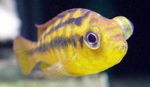 Yellow fish with one buldging eye as a result of the disease Pop Eye