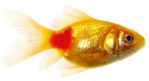 Gold fish suffering from the disease red pest