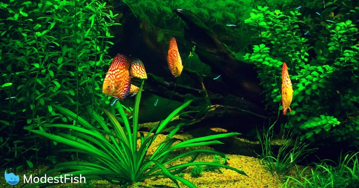 Four orange and red discus fish swimming in a planted aquarium with gravel substrate