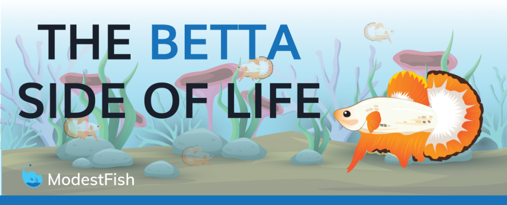 Betta Fish Care Guide How To Setup Your Betta Fish Tank Infographic
