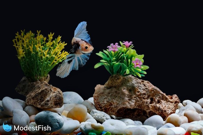 A betta fish, Siamese fish swimming in a fish tank decorated with pebbles and trees with a Black background