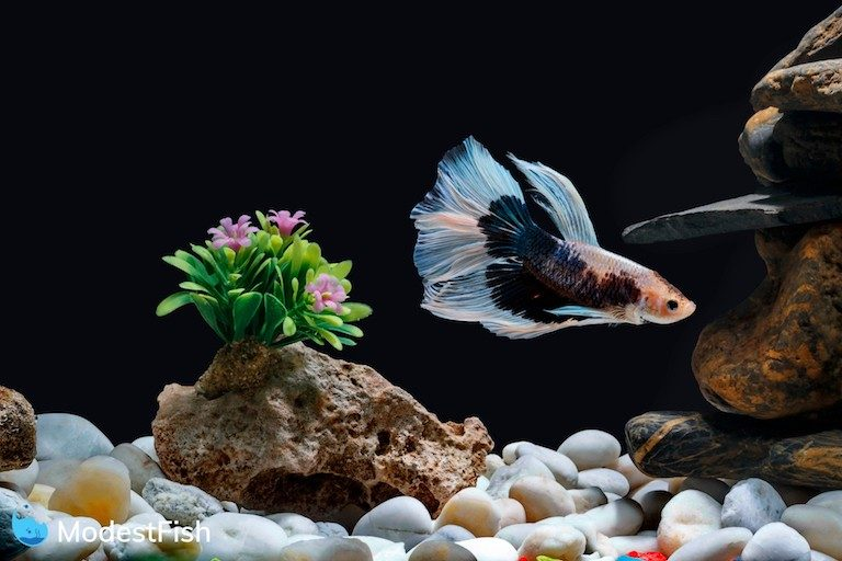 A betta fish swimming in a fish tank with pebbles and trees with a Black background