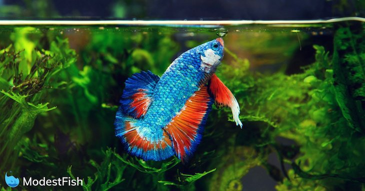 Red and blue betta fish swimming to the surface of its fish tank to take in air