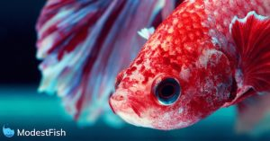 Close up of bright red betta fish