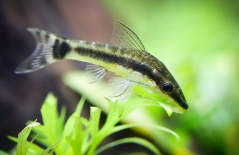 Otocinclus catfish in planted fish tank