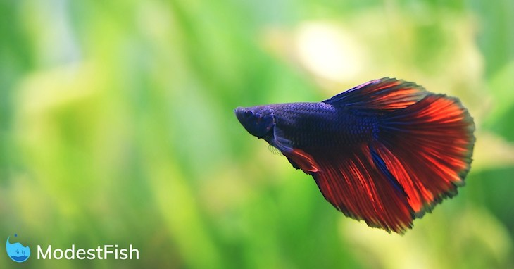 Red and blue betta swimming in a planted aquarium