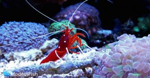 Red fire shrimp chilling on some corals