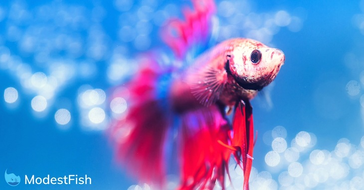 Red and Blue male betta swimming in it's fish tank