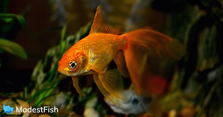 Orange goldfish swimming in planted aquarium