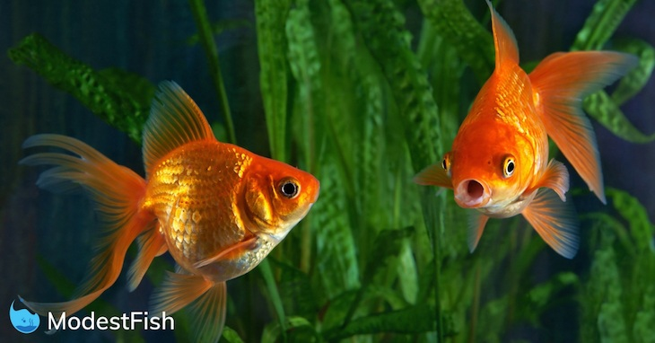 Two gold fish swimming in a tank. Once goldfish is looking for suprised