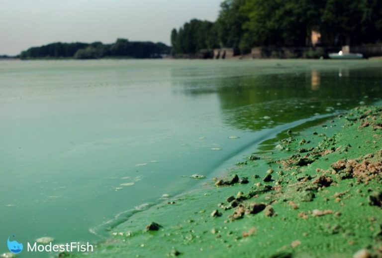 Beach overran by algae because of too much phosphates