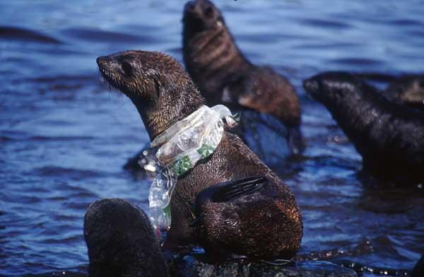 Seal with plastic wrapped around its neck