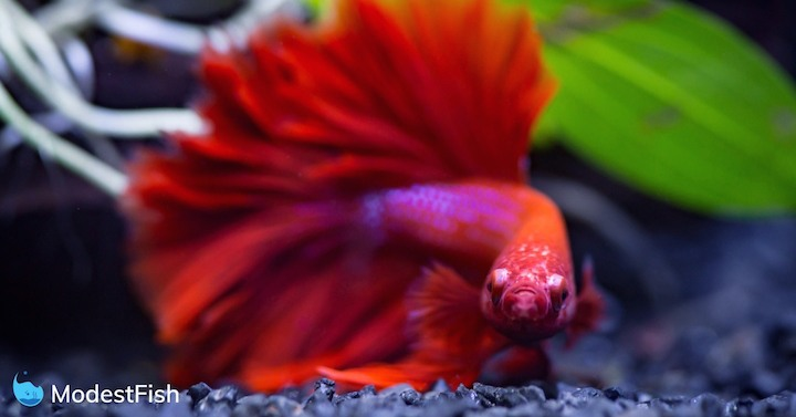 Close up of Red half moon Siamese fighting fish in a fish tank Close Red Half Moon Siamese Fighting Fish Fish Tank
