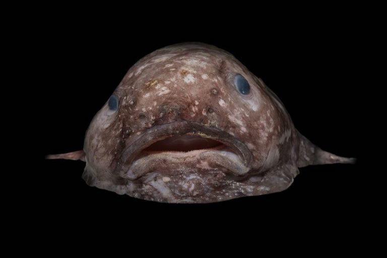 blob fish discovered in the deep sea