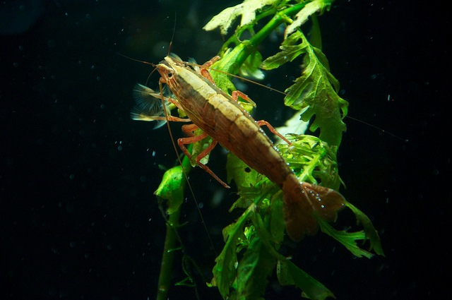 Bamboo shrimp resting on a green leaf in a freshwater tank