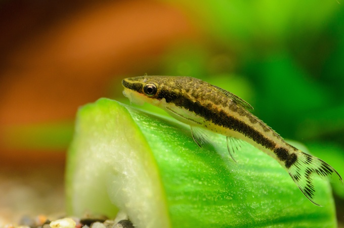 Otocinclus catfish resting on a cucumber in a freshwater aquarium