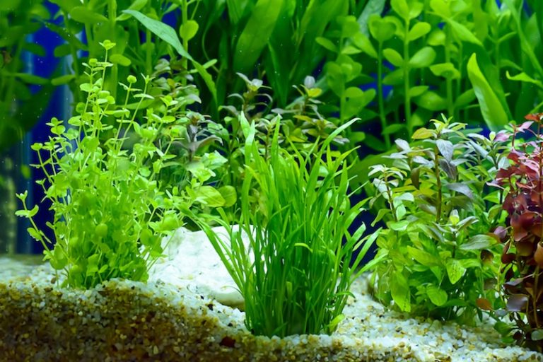 foregrund freshwater aquarium plant rooted in gravel