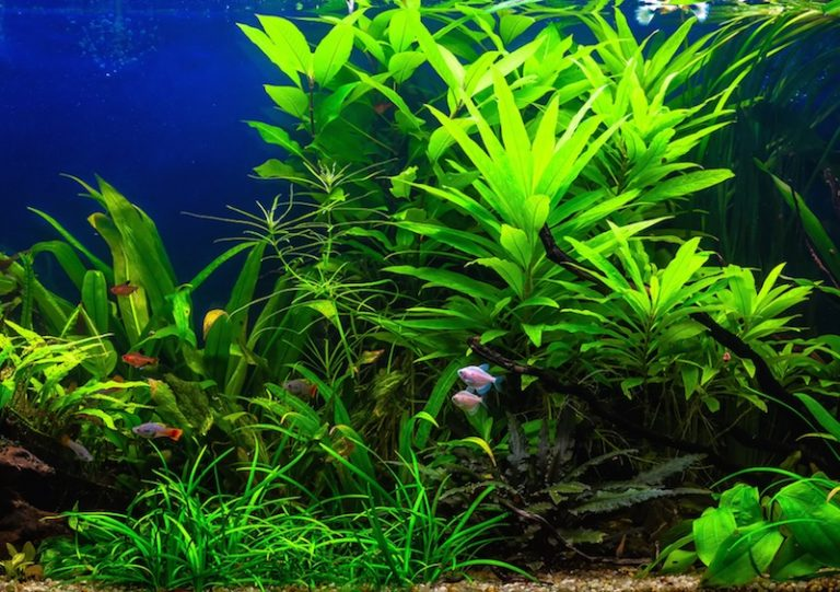lots of bright green freshwater plants in an aquarium