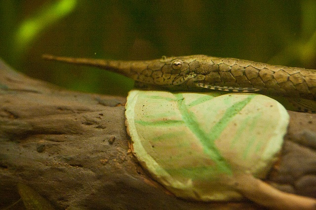 Close up of a Whiptail catfish resting on a log in a freshwater aquarium