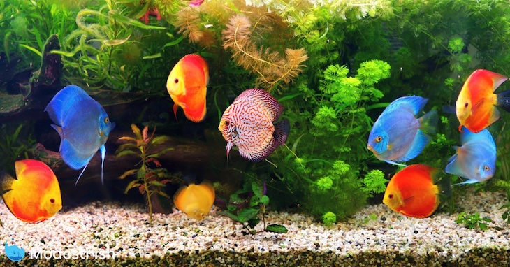 Discus (Symphysodon), multi-colored cichlids in the aquarium, native to the Amazon River basin