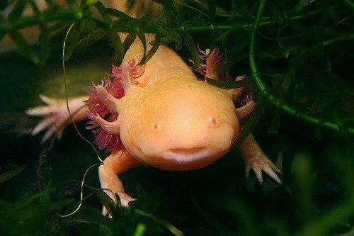 Orange axolotl hiding in leaves