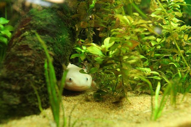 Axolotl hiding