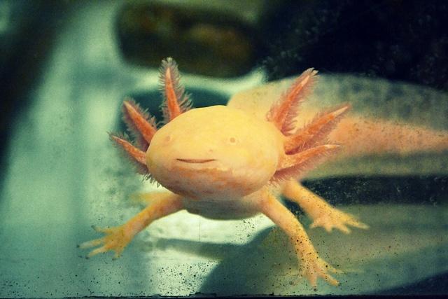 Orange axolotl smiling in aquarium