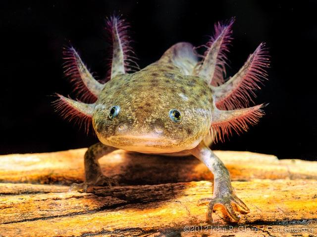 Axolotl resting on log in aquarium