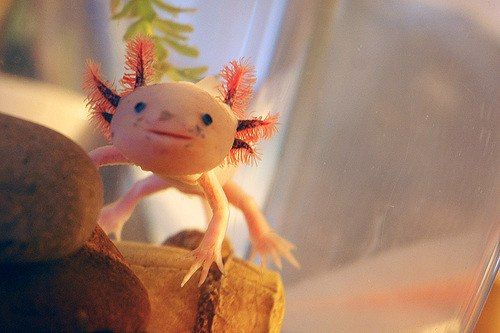 Cute axolotl smiling in planted aquarium