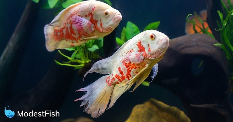 Two white and red oscar fish in aquarium swimming