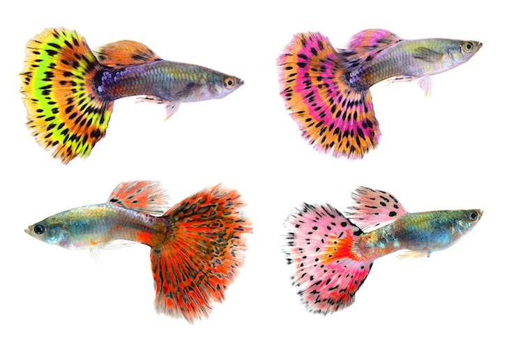 Different types of guppies with different patterns and colors