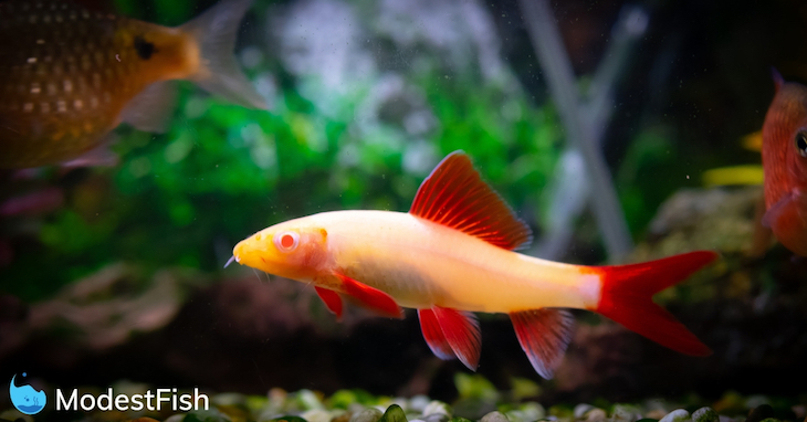 Rare albino rainbow shark swimming in planted aquarium