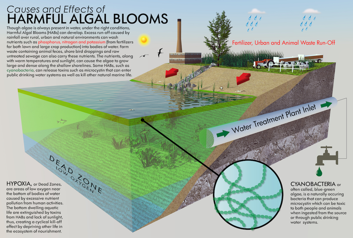 Infographic showing how run-offs can cause harmful algae bloom