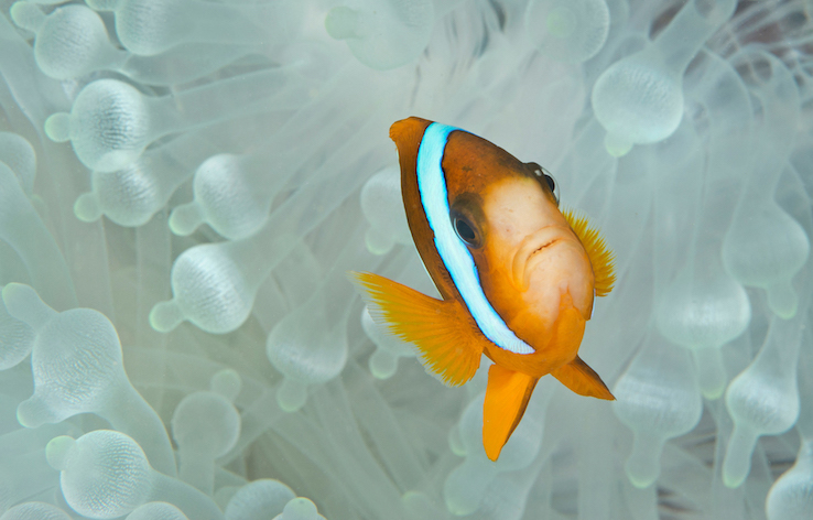 Clown fish living in bleached coral