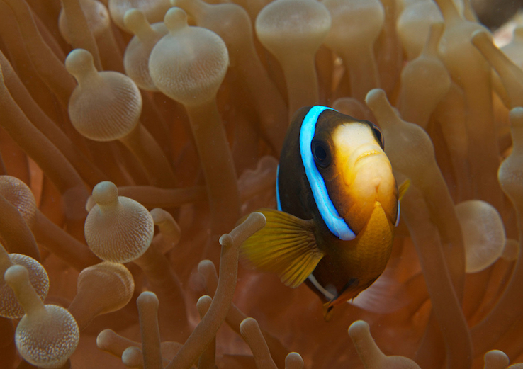 Clown fish in its home of healthy coral