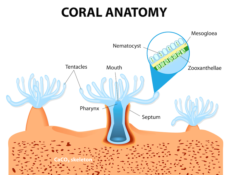 The anatomy of coral