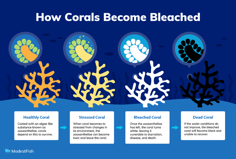 The process of coral becoming bleached